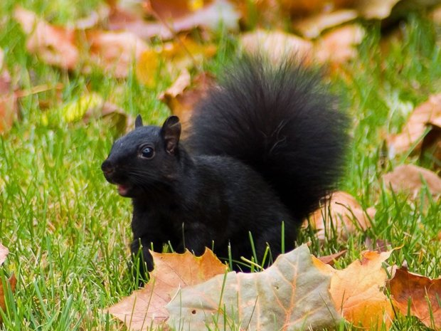 black-squirrel-autumn-the-free_173676